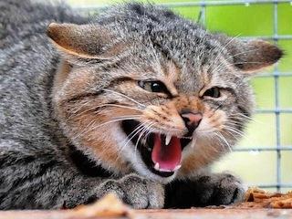 Коту стал бешеным