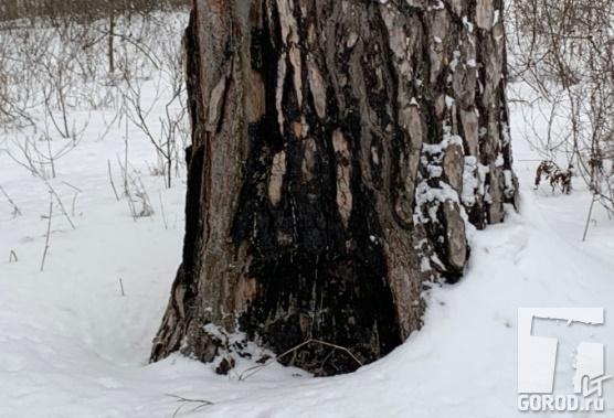 (фото) В лесу Тольятти кто-то поджигает здоровые деревья?